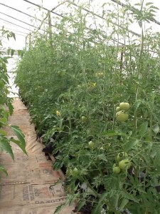 Tomato plants in our tropical greenhouse